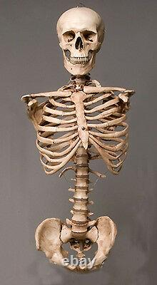 Harvey Skeleton Aged Torso Halloween 2nd class Life-Size, with Skull, NEW