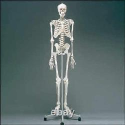 Pysiotherapy Skeleton Human Anatomical Model NEW